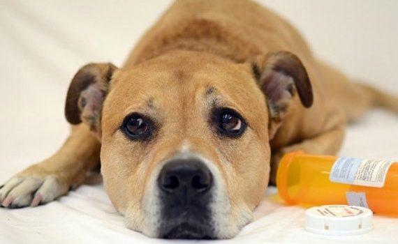 Eviniz Evcil Hayvanlarınız için Zehirli mi?